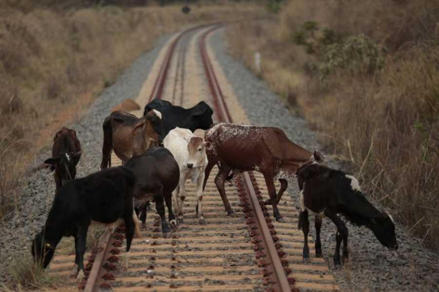 ВХакасии грузовой поезд наехал настадо коров