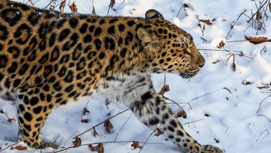 Леопард вышел кводителям унацпарка вПриморье